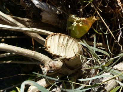 2014-10-06-cottonwood-with-beaver-tooth-marks