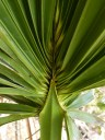 sabal-palm-frond
