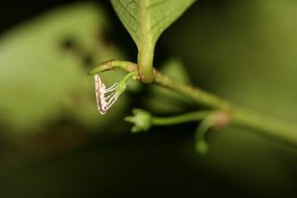 Leafflower moth (Epicephala sp.) pollinating a Phyllanthus grayanus (syn. Glochidion grayanum) flower, Tahiti, Society Islands, 2009