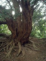 Photo of a tree with strange roots - Dark Young of Shub-Niggurath