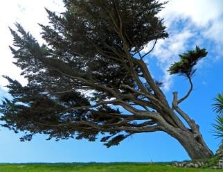 windswept-tree