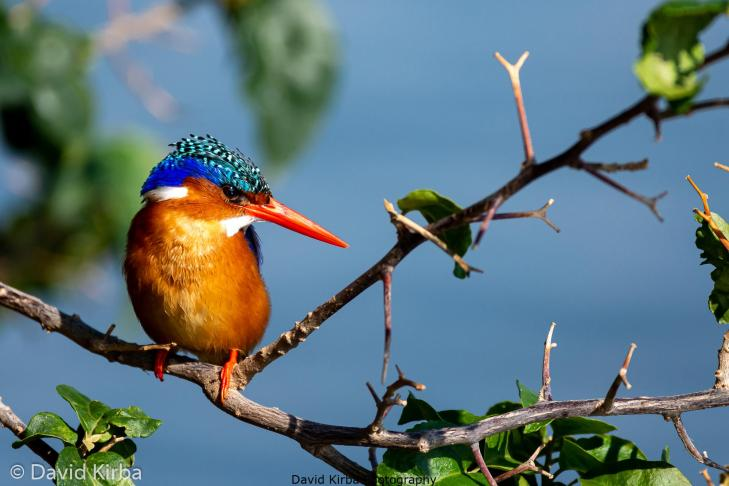 Kingfisher, Ethiopia