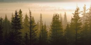 Trees under a fog