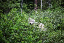 A Grey Wolf walks in the forest near Golden, BC, Canada.
