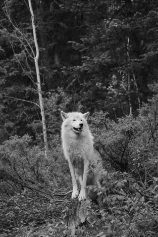 A Grey Wolf stands in the forest near Golden, BC, Canada in this black and white image.