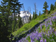 Lupines with Mt Hood around the corner