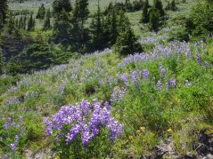 More lupines on Mt Hood Meadows Loop
