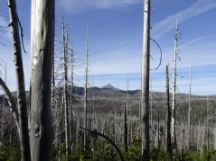 View of Mt Jefferson through burnt forest