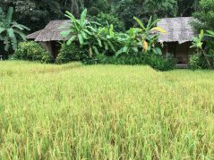 Rice paddies at Fern Resort