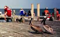 Pelican in Cedar Key - 4
