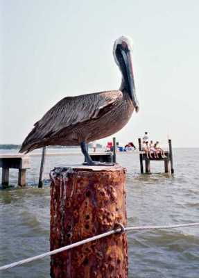 Pelican in Cedar Key - 7