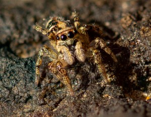 Jumping Spider, Les Landes, Jersey, Channel Islands