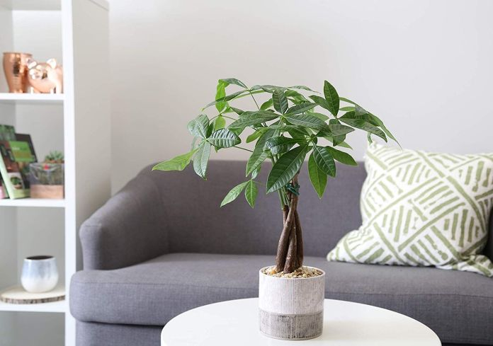 Money Tree Ornamental Plants For Coffee Table