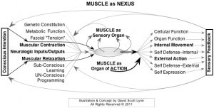 NEXUS of Muscle Tension and the Mind & Brain - chronic muscle tension and nerve pain