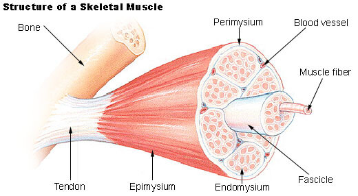 Muscle & Fascia fibers - Muscle Pain Relief and Stress Reduction, cause of sore muscles