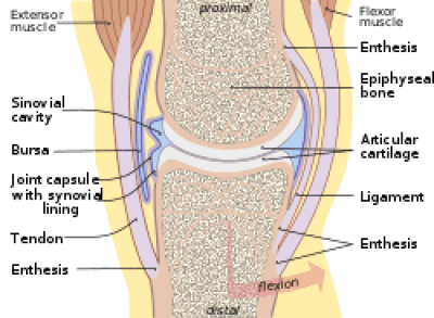 joint capsule with tendons = joint pain, joint degeneration, osteoarthritis