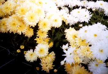 Carr's Greenhouse - Hutchinson, Minnesota - Yellow and White Mums