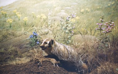 Museum of Natural History, University of Minnesota – Badger