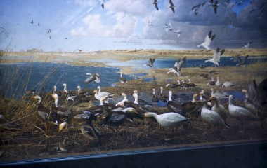 Museum of Natural History, University of Minnesota – Blue Snow Geese – White Snow Geese