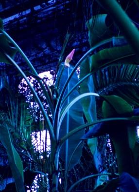 Como Park - Banana Bloom