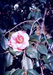 Huntington Library and Art Gallery - Rose Varigated Camelia