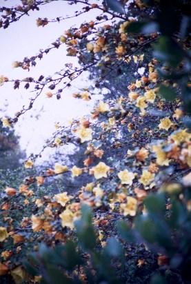 Santa Barbara - Botanical Garden - California Flannel Bush