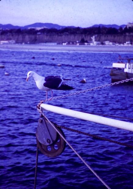 Santa Monica - Gull