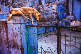 Guard dog in the blue. Jodhpur, India, 2014.