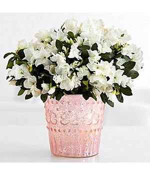 http://www.guide-to-houseplants.com/azalea-care.html