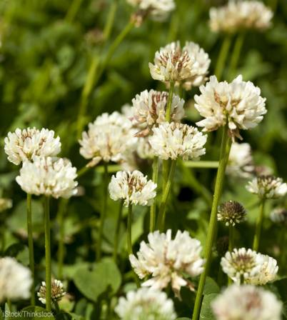 http://www.hobbyfarms.com/5-reasons-to-let-white-clover-grow-in-your-lawn-3/