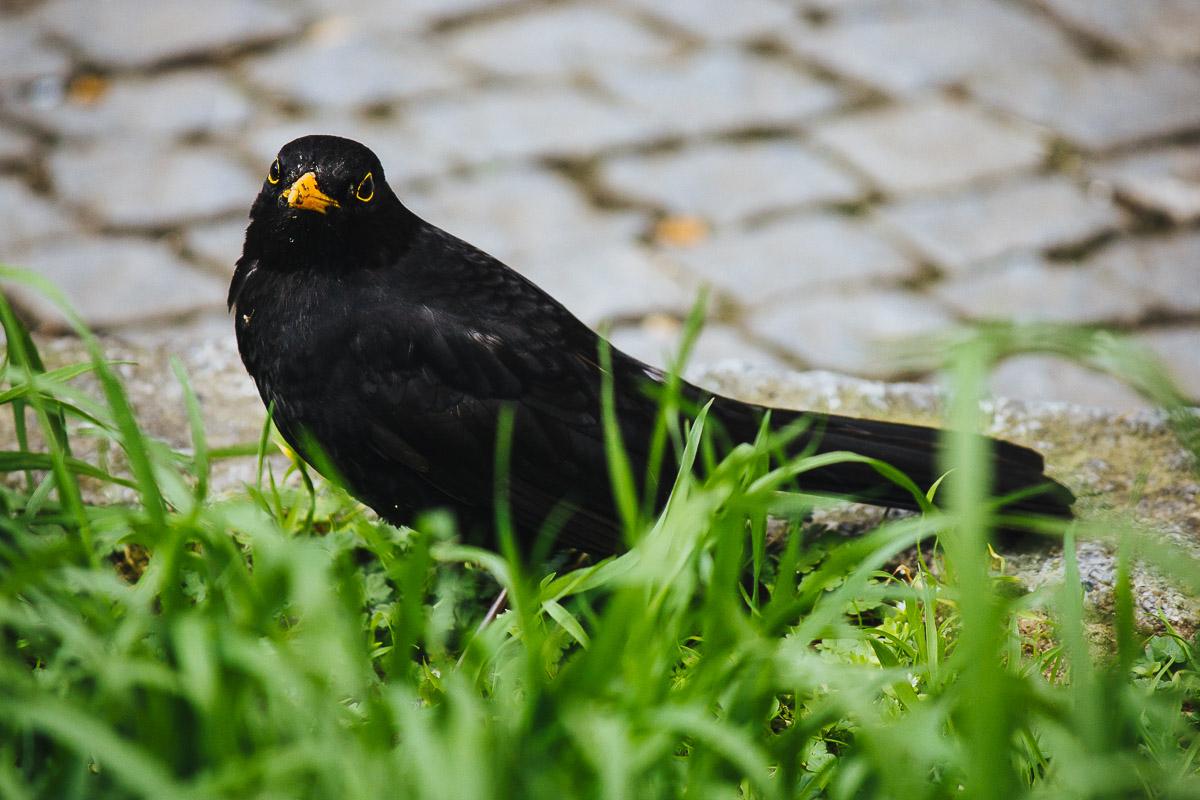 Schwarze Amsel zwischen Gras und Pflastersteinen