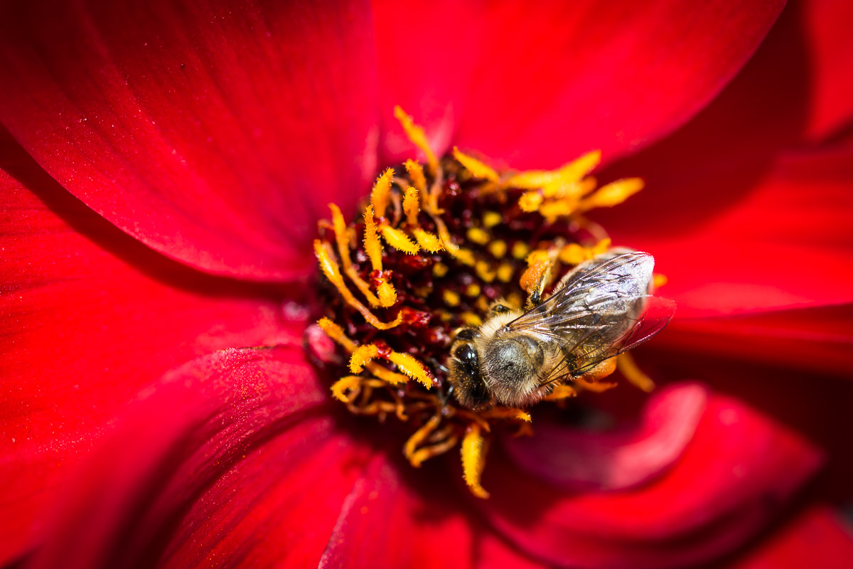 Honey bee collecting pollen in a red dahlia blossom