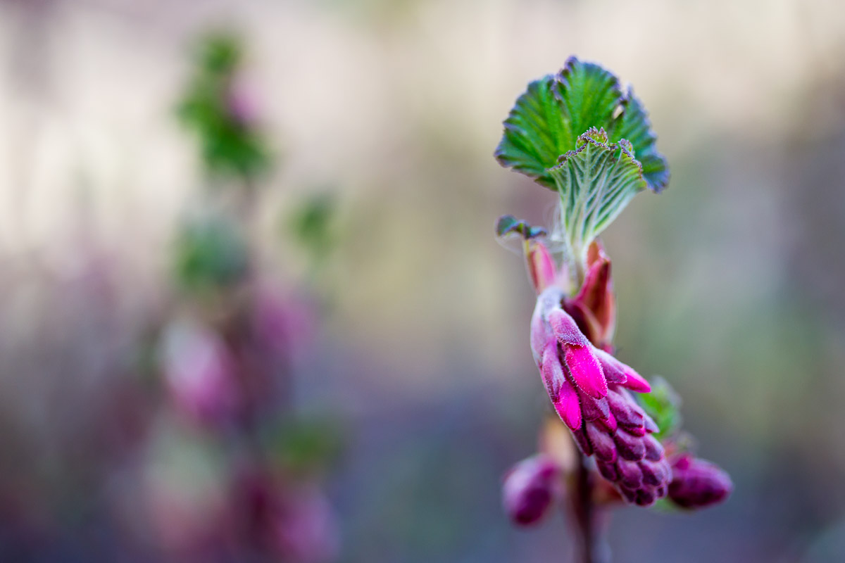 partially closed wild currant blossom with blurred background