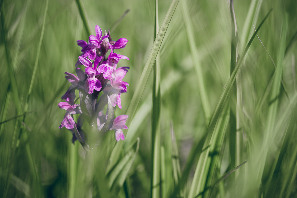 pink blossoms of a marsh orchid between blades of grass on meadow