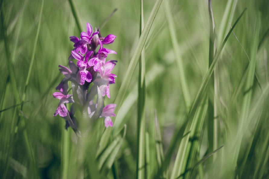 pink blossoms of wild orchid between blades of grass on meadow