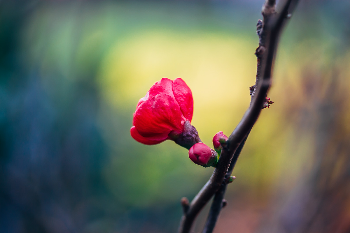 Red blossom of a japanese quince with a background in blue, green and yellow