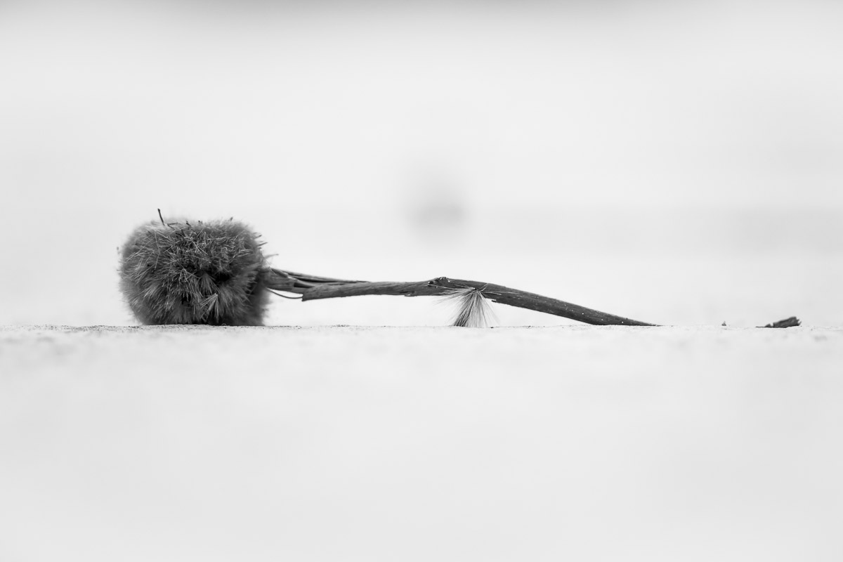 Plane tree seed capsule on white ground