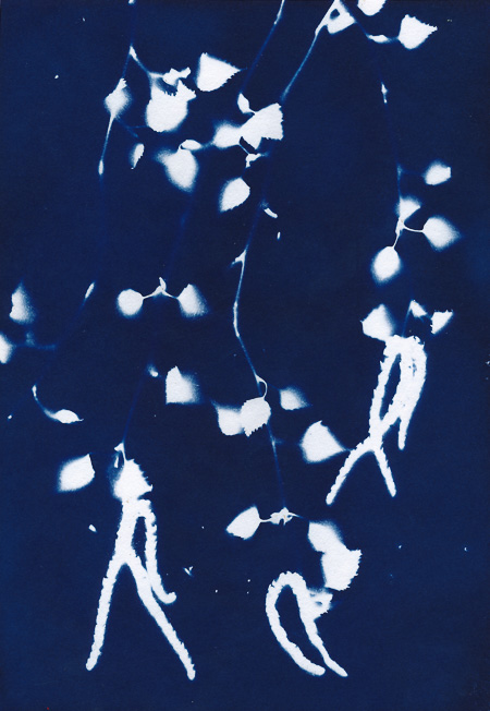 Cyanotype of birch leaves and flowers