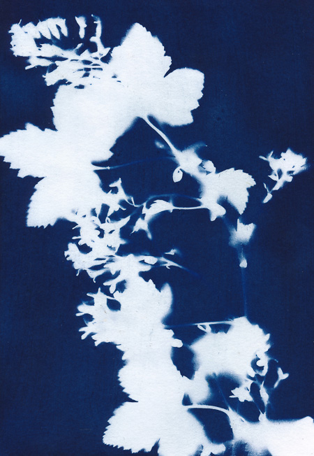 Cyanotype of flowering blood currant