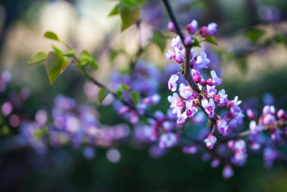 Zweig eines blühenden Judasbaums mit rosa Blüten