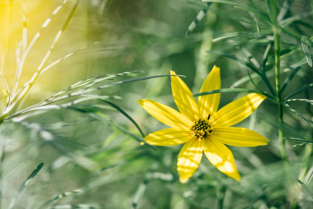 Single yellow cosmos flower between green leaves