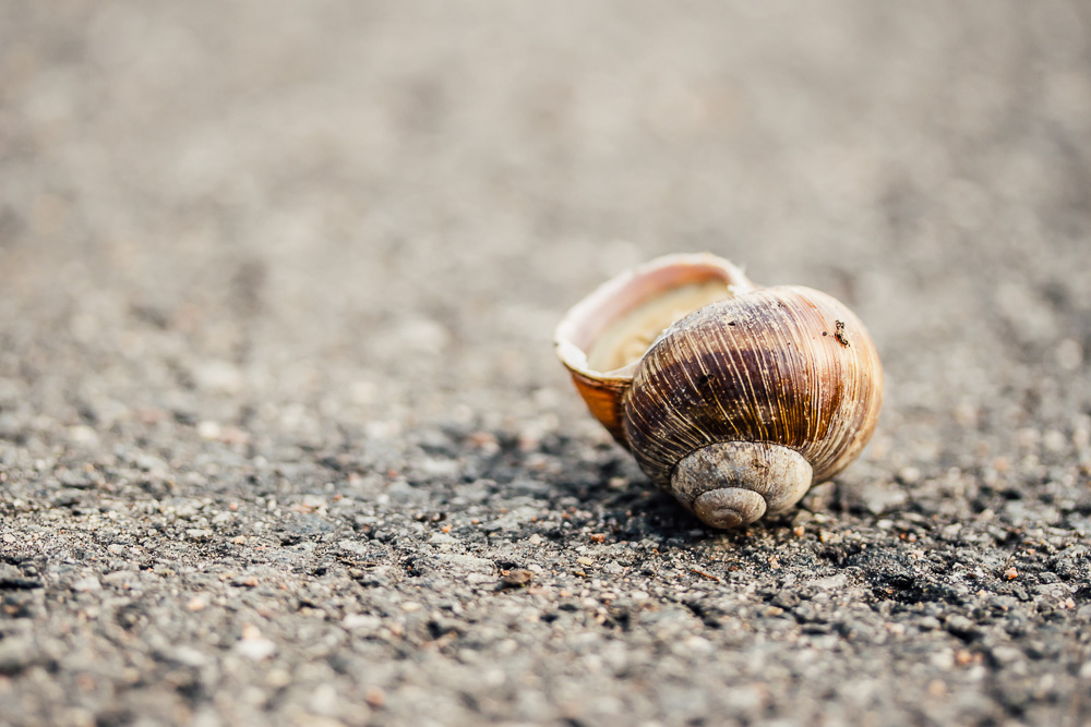 Large shell of a grapevine snail lying upside down on the pavement