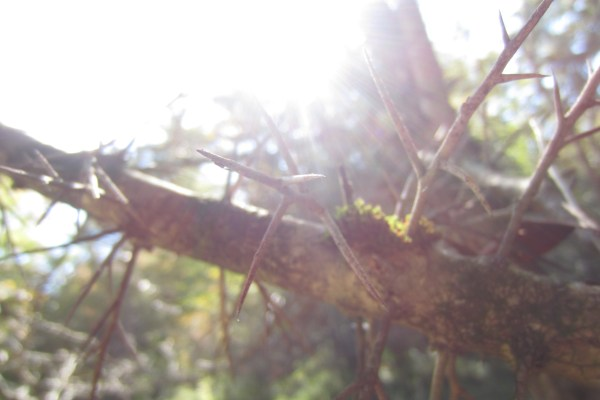 thorns-and-sun