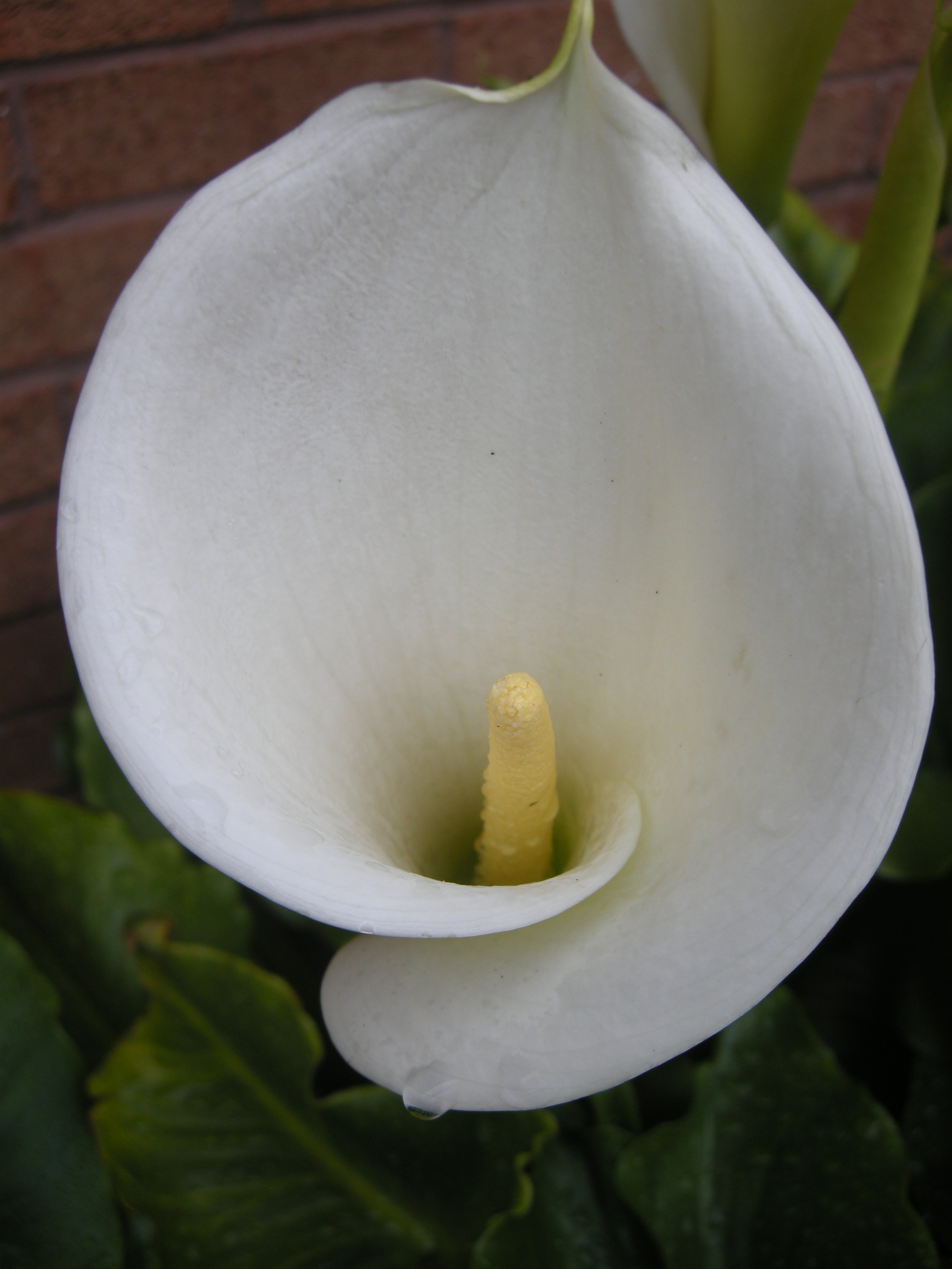 Zantedeschia Aethiopica Landscape Architect S Pages