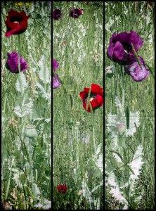 Poppies-Black
