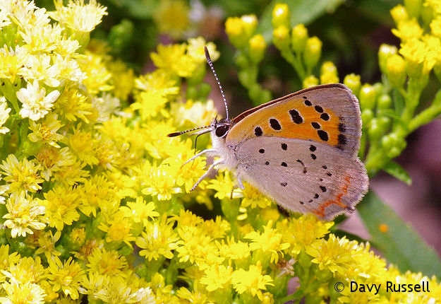 American Copper butterfly (Lycaena phlaeas) on Goldenrod.