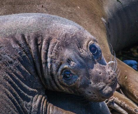 An Elephant Seal at play along California's Pacific Ocean Coastline
