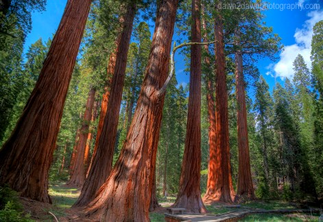 Giant Sequoia Trees dominate the landscape at Giant Forest at Sequoia National Park, California