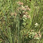 Native Milkweed