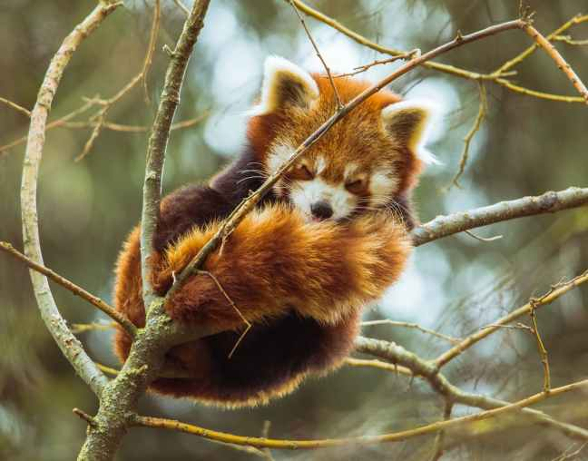 red panda in the branches of a tree